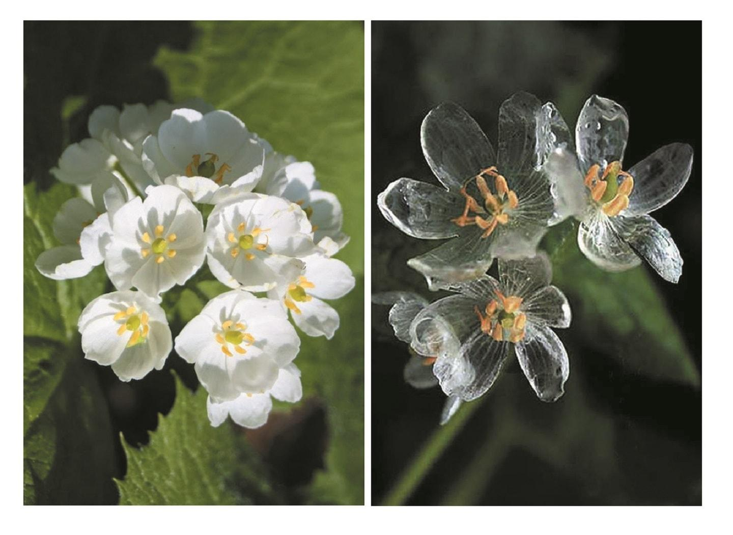 Skeleton flower turns transparent when wet amazing diphylleia grayi or skeleton flower have petals and when they get wet they turn from mightylinksfo