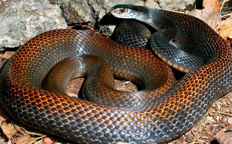 Serpiente Taipan La Serpiente Terrestre Mas Venenosa Del Mundo