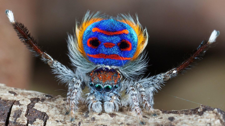Araña pavo real, pena de muerte para malos bailarines | amazing.zone