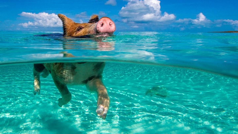 Bahamas Island Where Pigs Swim
