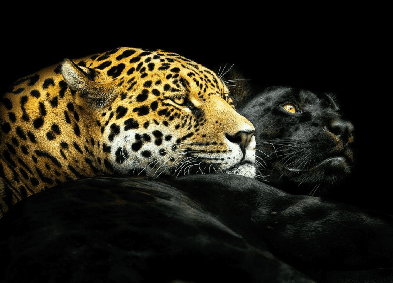 Pantera Negra: Las Panteras Negras Son Crías De Jaguar O Leopardo