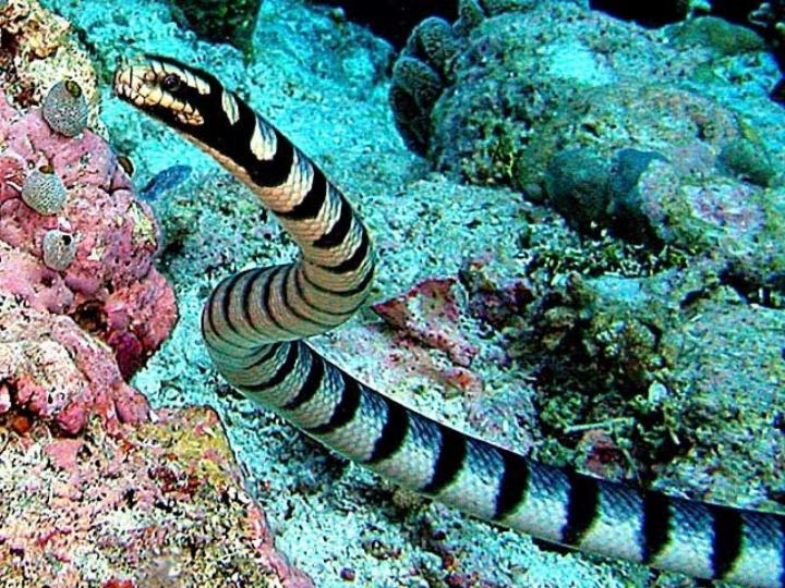 belcher sea snake the world s most venomous snake